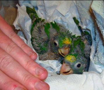 Babyparrots
