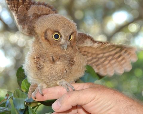 Baby Owl Rescue