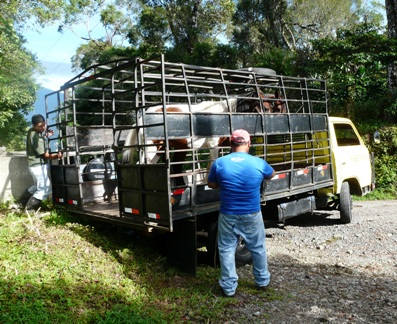 Horses Loaded on truck